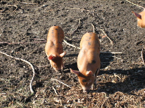 Piglets at four weeks
