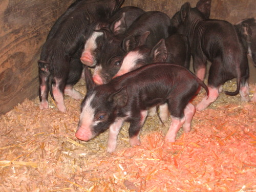 Shirley's New Piglets