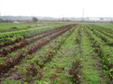 Fields_of_chard_1